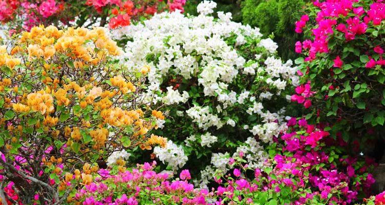 Tüm Yönleri İle Begonvil Çiçeği Hakkında